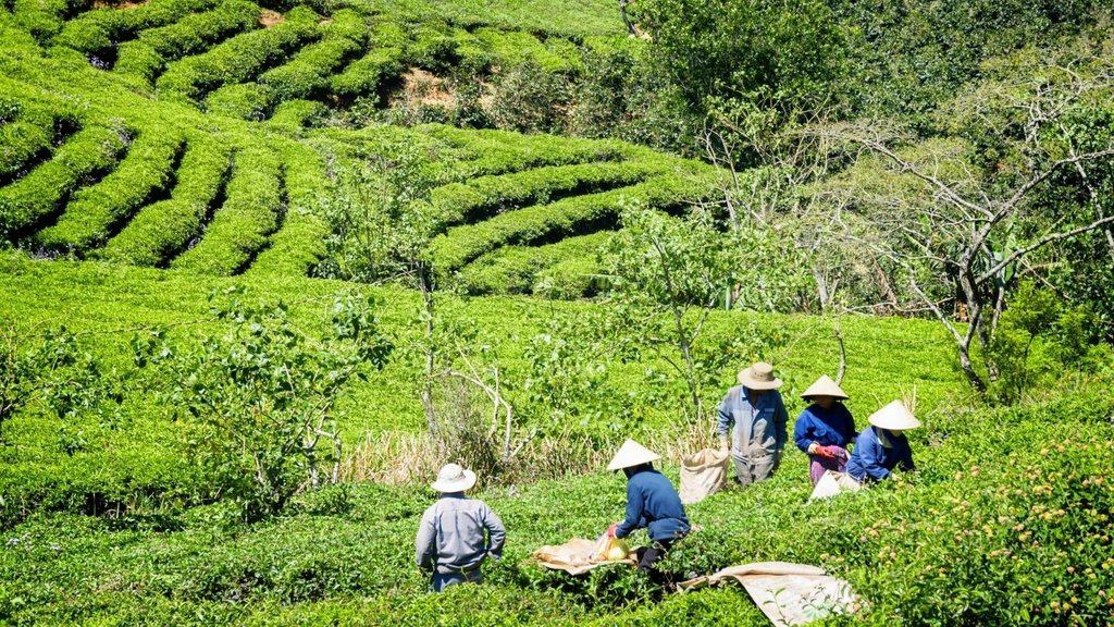 Day Trips from Cairns - Nerada Tea Plantation