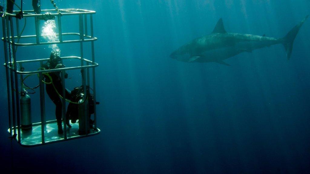 North Shore Shark Cage Diving & Swim
